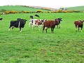 Cattle at High Three Mark - geograph.org.uk - 164843.jpg