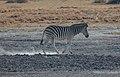 Cebra de Burchell (Equus quagga burchellii), Santuario de Rinocerontes Khama, Botsuana, 2018-08-02, DD 25.jpg
