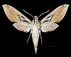 Cechenena pollux MHNT CUT 2010 0 153 Dairi (Diehl) Sumatra male ventral.jpg