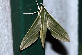Cechenena sp. (Sphingidae).jpg