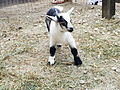 Cedar Point animal farm baby goat (2999).jpg