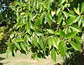 Celtis africana tree foliage South Africa 4.JPG