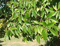 Celtis africana tree foliage South Africa 4