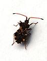 Centrocoris variegatus 0050.JPG