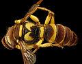 Cerceris triangulata, female BIML USGS.jpg