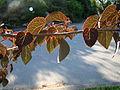 Cercidiphyllum japonicum Rotfuchs.jpg