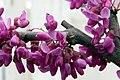 Cercis canadensis texensis Oklahoma 0zz.jpg