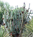 Cereus peruvians (cropped).jpg