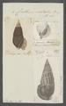 Cerithium sulcatum - - Print - Iconographia Zoologica - Special Collections University of Amsterdam - UBAINV0274 083 05 0004.tif