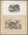 Cervus muntjac - 1700-1880 - Print - Iconographia Zoologica - Special Collections University of Amsterdam - UBA01 IZ21500360.tif