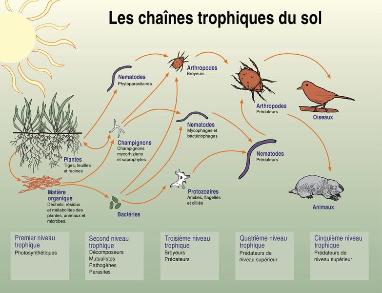 schéma de la chaine alimentaire du sol