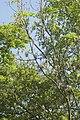 Chalara fraxinea sur Fraxinus excelsior (Frêne élevé) 01.jpg