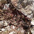 Chamaesyce serpyllifolia ssp serpyllifolia 4.jpg
