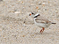 Charadrius melodus -Atlantic coast, New Jersey, USA-8.jpg