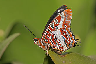Papilionoidea - Brush-footed butterfly of subfamily Charaxinae