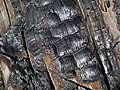 Charcoal from 1980s forest fire (Yellowstone, Wyoming, USA) 7 (35218445950).jpg