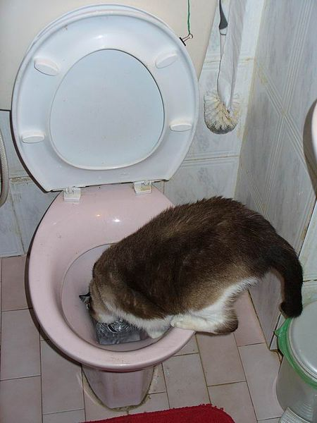 File:Charlie the cat - drinking from the toilet.jpg