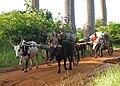 Charrettes zébus Madagascar.jpg
