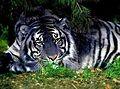 Cheetah12399859.jpg