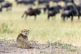 Cheetah looking on photographer.jpg