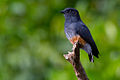 Chelidoptera tenebrosa Swallow-wing.jpg