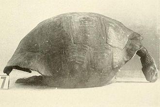 Joseph Richard Slevin - A Galápagos tortoise specimen (Chelonoidis nigra vicina) collected by Slevin on Isabela Island in 1906