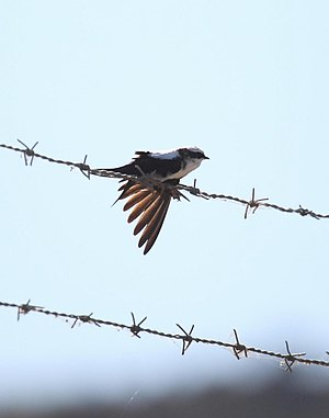 White-backed swallow - Image: Cheramoeca leucosterna ASWSP 2 Christopher Watson