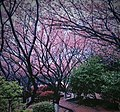 Cherry blossoms in Hunan University of Science and Technology.jpg