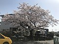 Cherry blossoms in front of Teruoka Station.jpg