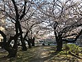 Cherry blossoms near Zasshonokuma Station 20190401-13.jpg