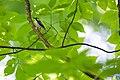 Chestnut-sided warbler (47883275101).jpg