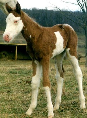 Splashed white - The white head, tail, and lower portions of this foal are typical of splashed white. The impression of the pattern is like the horse has been dipped in white paint.