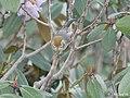 Chestnut tailed Minla I IMG 3744.jpg