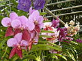 Chiang Mai Orchids P1110357.JPG