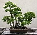 Chinese Elm (Ulmus parvifolia) (3562956639).jpg