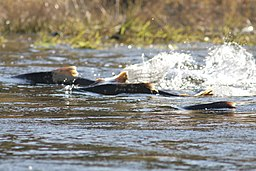 Chinook salmon moving upstream