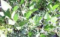 Chionanthus foveolatus - Pock Ironwood tree - foliage.JPG