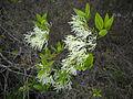 Chionanthus virginicus - Stone Mountain Park.jpg