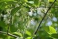 Chionanthus virginicus 2zz.jpg