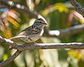 Chipping Sparrow (33468278204).jpg