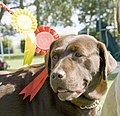 Chocolate labrador (Rosie) 1st and 3rd place (2701455314).jpg