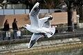 Chroicocephalus ridibundus in flight (adult in winter plumage) - Thun (4873053892).jpg