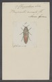 Chrysochroa - Print - Iconographia Zoologica - Special Collections University of Amsterdam - UBAINV0274 023 03 0006.tif