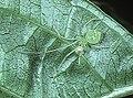 Chrysso.viridiventris.female.-.tanikawa.jpg