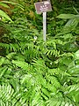 Cibotium barometz - Hong Kong Park Conservatory - IMG 9844.JPG