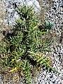 Cirsium odontolepis Plant 2300m SierraNevada.jpg