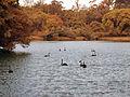 Cisnes negros, Parque Ibirapuera.jpg