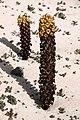 Cistanche phelypaea Habitus 01.jpg