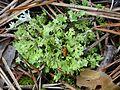 Cladonia foliacea M2 (1).JPG