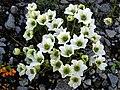 Clematis marmoraria hybrid 2.JPG